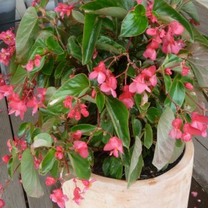 dragon begonia