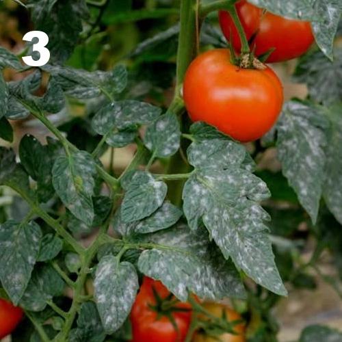 OIDIUM tomates 3