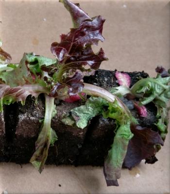 Mauvais arrosage des plants en motte